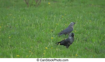 European crow raven Jackdaw on Summer Grass. The crow walks along the grass looking for lifestyle food slow motion video. bird concept