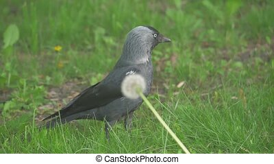 European crow raven Jackdaw on Summer Grass. The crow walks lifestyle along the grass looking for food slow motion video. bird concept