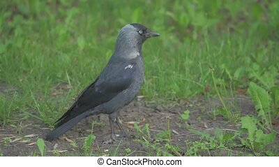European crow raven lifestyle Jackdaw on Summer Grass. The...