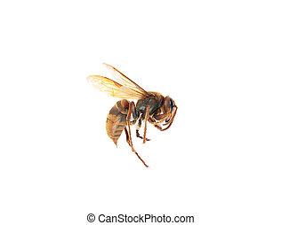 European dead hornet on white background