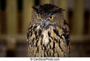 European Eagle-Owl 2