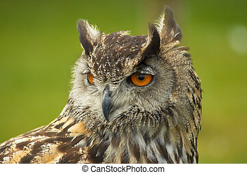 European Eagle owl - A close uo of a European Eagle Owl