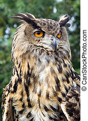 European Eagle Owl - A european eagle owl closeup