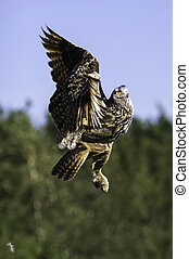 European Eagle Owl ascending to flight - This image shows a...