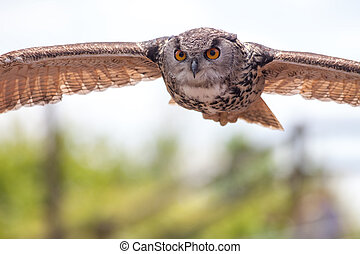 European eagle owl bird of prey in flight hunting. Stealthy ...