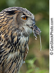 European Eagle Owl (Buba bubo) eating a field mouse in the ...