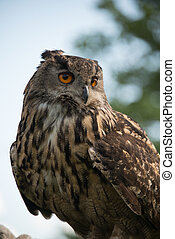 European Eagle Owl, bubo bubo, close up.