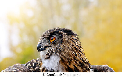 European eagle owl ( Bubo Bubo ), wildlife photo.