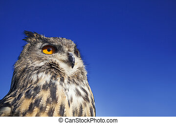 European Eagle Owl - European or Eurasian Eagle Owl, Bubo ...