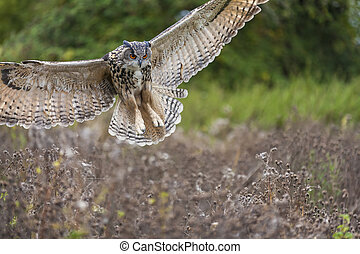 European Eagle Owl in Flight - European or Eurasian Eagle ...