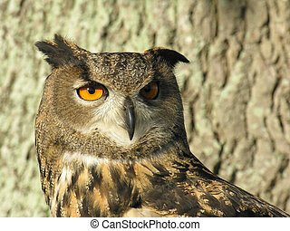Eagle Owl - European Eagle Owl