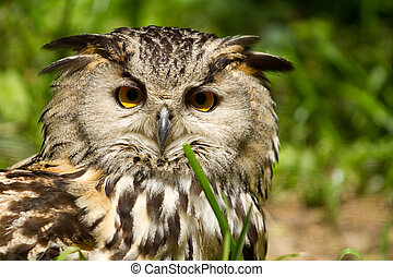 European Eagle Owl - Portrait of eagle-owl (bubo bubo)