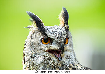 Eagle-owl - European Eagle-owl portrait