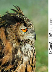European Eagle Owl - Profile of a european eagle owl.