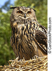 European Eagle Owl - Scottish Highlands - A European Eagle ...