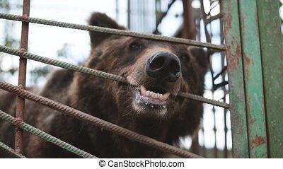 European Eurasian Brown Russian Bear Ursus Arctos Arctos Gnawing Cage In.