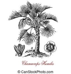 European fan palm, vintage print