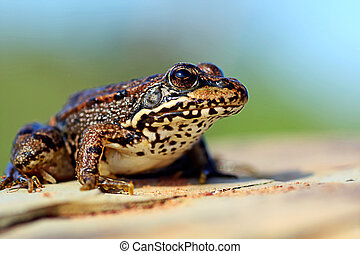 European frog - Close view of a european frog on top of a ...