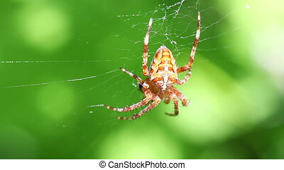 European garden spider - Araneus diadematus - macro shot