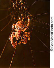 A macro shot of a european garden spider in its web, feeding on a fly or some other type of insect, against a black background.