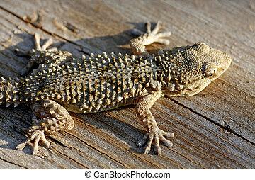 European gecko