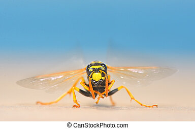 European giant hornet