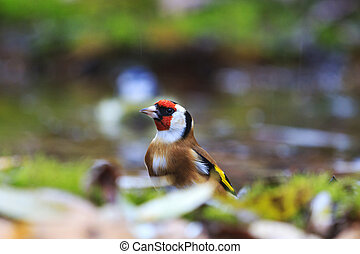 European goldfinch among the fallen leaves in the water