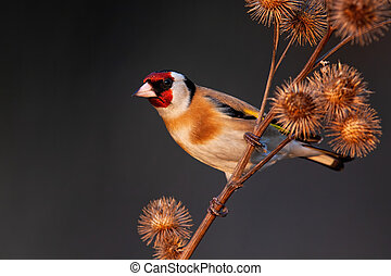 European goldfinch sitting on dry thistle in autumn