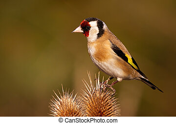 European goldfinch sitting on thistle in autumn nature