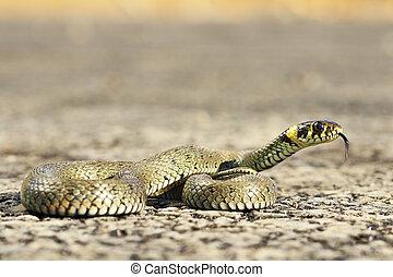 european grass snake