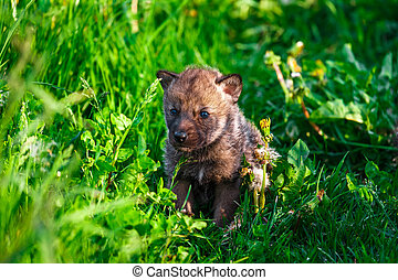 Gray Wolf Cubs in a Grass