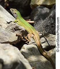 European green lizard in the wild