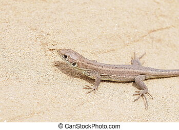 European Green Lizard, juvenile