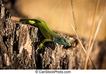 european green lizard ( lacerta viridis )