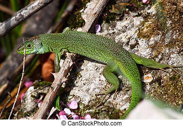 European green lizard (Lacerta viridis)