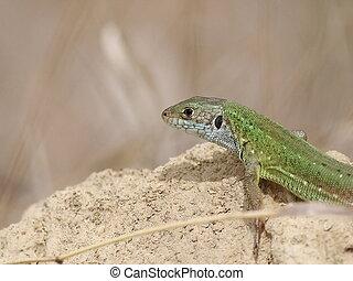 European Green Lizard on sand