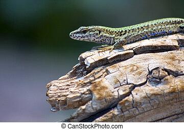 European green lizard