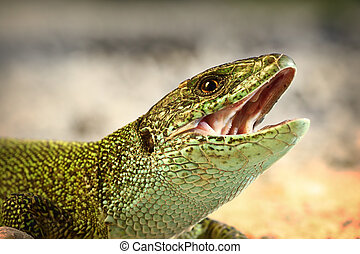 european green lizard trying to bitei - european green...