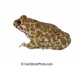 European green toad, Bufo viridis