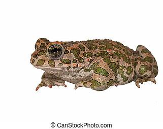 European green toad, Bufo viridis, isolated on white...