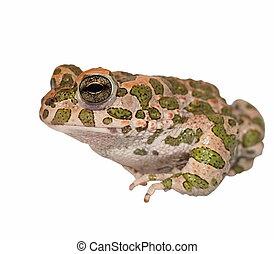 European green toad, Bufo viridis