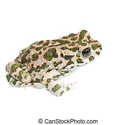 european green toad isolated