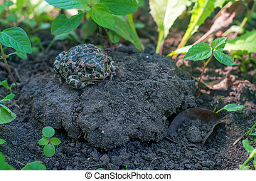 European green toad or Bufo viridis sits on the ground