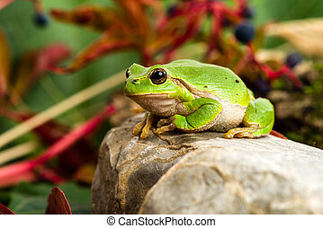 European green tree frog lurking for prey in natural...