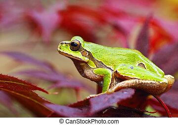 european green tree frog on leafs