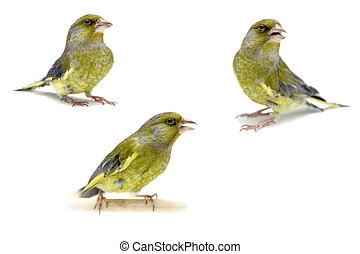 European Greenfinch on white, carduelis chloris - European...