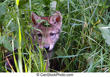 European grey wolf (Canis lupus) - Baby wolf in the grass