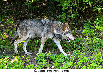 European Grey Wolf, Canis lupus in a german park