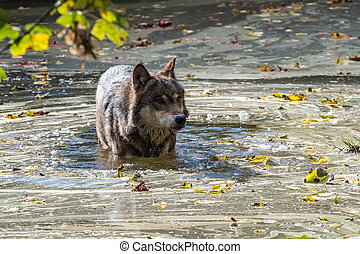 European Grey Wolf, Canis lupus in the zoo