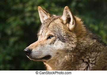 European grey wolf in the morning sun